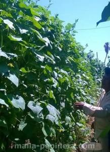 Cultivos de pepino: malla pepinera