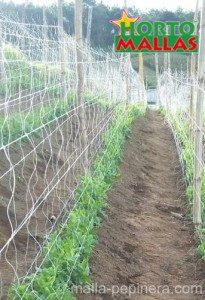 tutoro para el cultivo de pepino
